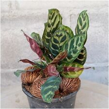 "1 Calathea makoyana Live Plant, Peacock Plant 4"" Potted House Plant For Growing"