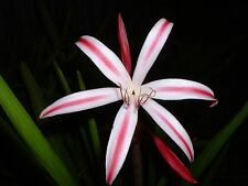 Crinum Lily, baconi Fourth of July, large, blooming-size bulb