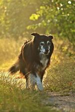 A Border Collie in the Field at Sunrise Dog Journal : 150 Page Lined.