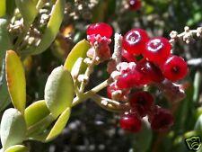 Ruby or Coastal Saltbush Seed Frost/Drought/Salt Tolerant (Chenopodium baccatum)