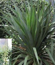 12 Samen Yucca filamentosa, Fädige Palmlilie, winterhart, herrliche Blütenstände
