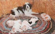 Old Postcard Pc Bearded Collie Dog & Puppies Dexter Press Usa c1958 Heartwarming
