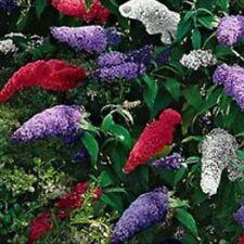 25pcs Buddleia Tricolour Butterfly  Seeds Garden Bush Perennial Home Garden