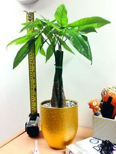 Luxury Money Tree Pachira Fortune Plant Gold Ceramic Pot Silver Top House Office