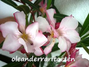 1 x Oleander Steckling EURIDYKE ehemals GOTSIS RARITÄT