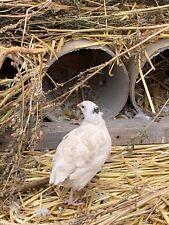 12 pure White Coturnix Japanese Quail Hatching Eggs organic high fertility
