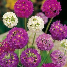 Primula Denticulata Hybrids - 100 Seeds - Hardy Perennial Flower