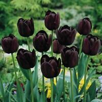 50Pcs Black-Purple Tulip Bulbs Root Flowers Balcony Plants Garden Perennial K7P3