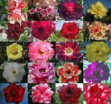 """Adenium Obesum//DESERT ROSE/"""" 30 types/"""" 300 graines RARE!!!"""