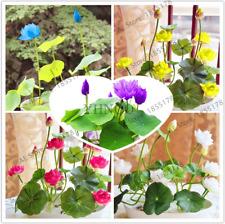 Water Lily Garden Aquatic Plants Midnight Blue Lotus Bonsai 5 Pcs Seeds New 2018