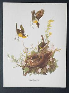 "1950's AUDUBON BIRDS OF AMERICA SINGLE PRINT 9"" X 12"" YELLOW-BREASTED CHAT"