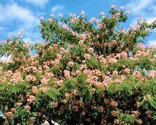 Mimosa Tree Persian Pink Silk Tree Seeds Albizia Julibrissin