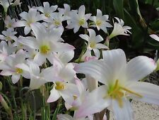 Rain Lily, Zephyranthes White Pelican, 2 bulbs, RARE, habranthus