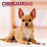 Chihuahuas 2020 Square FOIL Wall Calendar by Browntrout Free Post