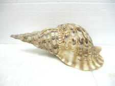 Coquillage : Charonia tritonis