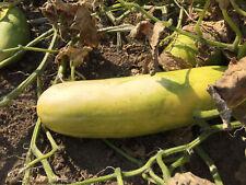 Schälgurke Fatum Senfgurke Schmorgurke robuste Gurke auch fürs Freiland geeignet