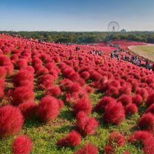 500 Graines Kochia scoparia, Burning Bush Grass Summer Cypress Hardy plant seeds