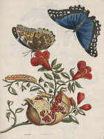 Maria Sibylla Merian Butterfly Poster Reproduction Paintings Giclee Canvas Print