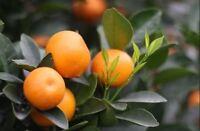 10 seeds Fruit Tree Tropical Kumquat Orange Tangerine Citrus seeds