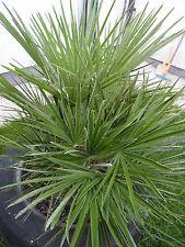 3 frische Palmen - Samen  Chamaerops humilis + 3 Samen als Geschenk