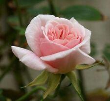'Cecile Brunner' Fragrant Climbing Rose, Delicate Soft Pink Hardy China Rose