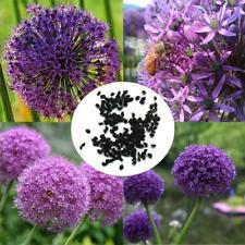 15x Violet géant Allium giganteum f1 Graines Plante Poireau Jardin #212