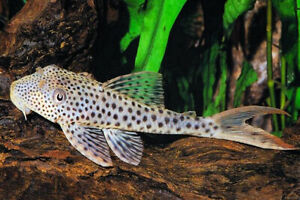 """ONE Red Fin Thresher Pleco - avg size 4+"""" - free shipping - continental U.S."""