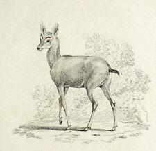 Muntjak Muntjac Antilope gravure originale 19e Histoire Naturelle