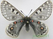 Parnassius acco subsp. bubo (Bryk, 1938) male China 53mm