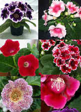 New listing Gloxinia Seeds. 100 seeds, mix color