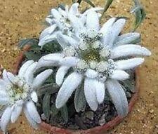 Edelweiß frostharte Blumen winterharte Pflanzen für den Balkon Garten Topf Deko