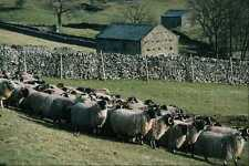 676061 Swaledale Sheep Buckden Wharfdale North Yorkshire A4 Photo Print