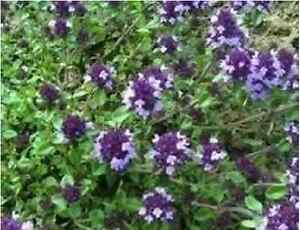 Herb - Thyme - Purple Creeping - 700 Seeds - Economy