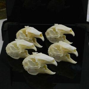 5Pcs Cottontail Rabbit Skull specimen Animal bone specimen Natural Bone Quality
