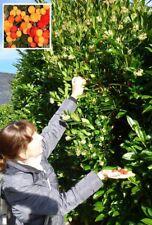 Erdbeerbaum Erdbeeren das ganze Jahr frisches Obst auch im Winter Deko Duftkraut