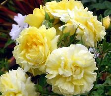 20+ PALE YELLOW ROSE BUSH Seeds       USA SELLER SHIPS FREE