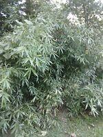 "sale! 10 Bamboo """"Arundinaria Gigantea"" giant river cane(native plant)"
