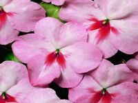 50 Impatiens seeds impatiens sun and shade cherry splash