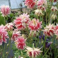 Columbine- Nora Barlow- 50 Seeds - BOGO 50% off SALE