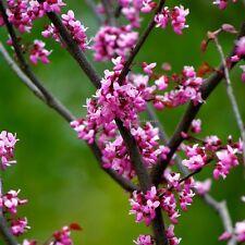 100 Graines Cercis canadensis , Eastern Redbud tree seeds