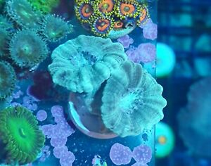 2 HEADS LIME GREEN CANDY CANE FRAG LIVE HARD CORAL LPS REEF MARINE FRAGS CORALS