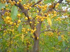"15+ GOLDEN RAINDROPS CRAB APPLE SEEDS - Malus"" Golden Raindrops """