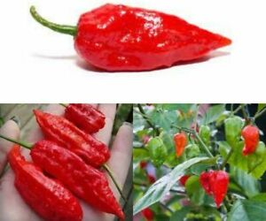 GHOST SUPER HOT  Chilli Hot Pepper Seeds Rare MULTI BUY OFFER