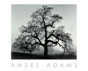 Ansel Adams Oak Tree, Sunset City, California Black & White Embossed Print