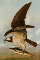 Painting Audubon Osprey And Weakfish Xxl Wall Canvas Art Print