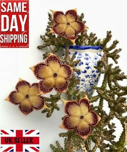 Persian Carpet Flower (Edithcolea Grandis) 5 fresh seeds.RARE. Same Day Dispatch