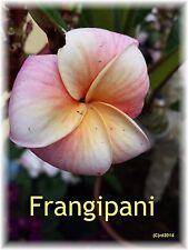 *** Frangipani Parfümöl, 10ml, exotisch, blumig - Topp!