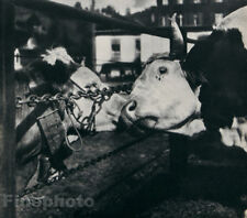 1931 Vintage Whispering Cows By NORA DUMAS France Farm Animal Photo Art 11X14