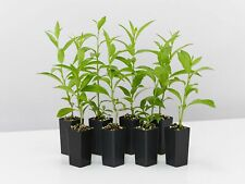 10-100 plants Cestrum nocturnum Night Scented Jessamine jasmine hedge