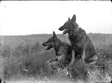 Chiens Berger allemand ? - ancien négatif photo verre an. 1920 30